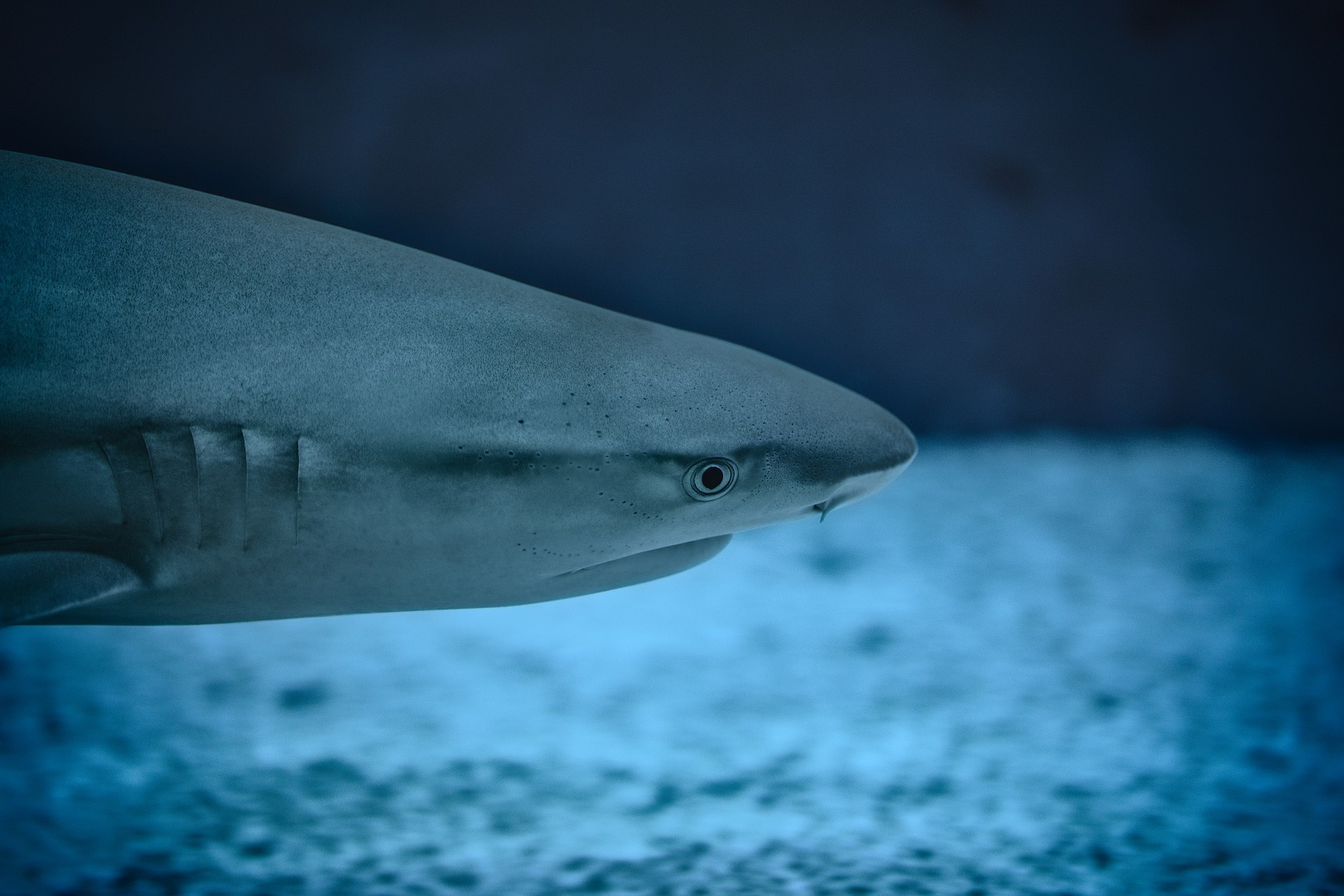 Shark In Water